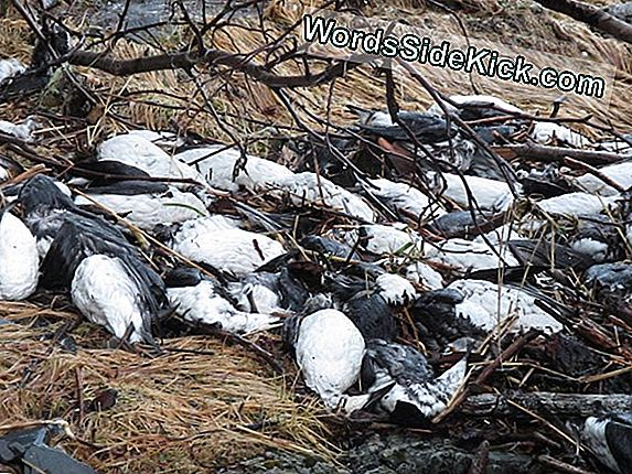 Massive Bird Die-Off-Pussel Alaskan Scientists