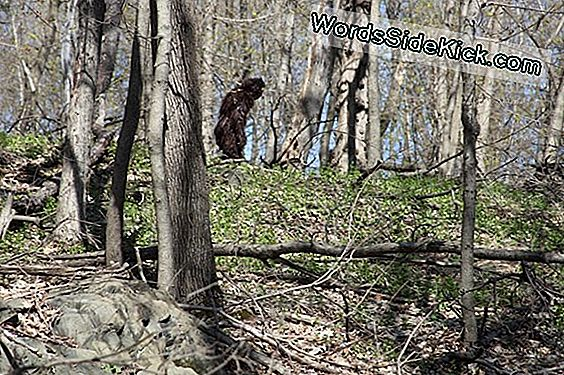 Ny Bigfoot Video: Blurriest One Yet?