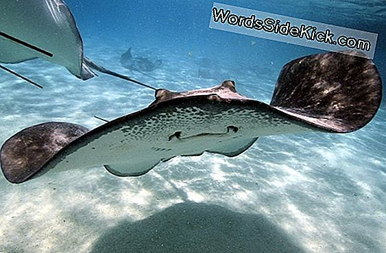 Stingrays 'Weird Swimming May Inspire New Submarine Designs