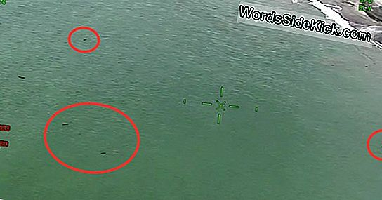 15 'Toddler' Great White Sharks Swarm Near Paddleboarders