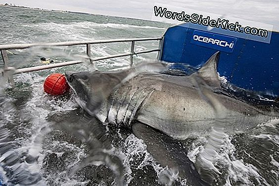 2.000-Pund Great White Shark Tagged & Tracked