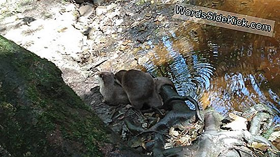 Adorable Terror: Wolf-Size Otter Hunted In Het Oude China