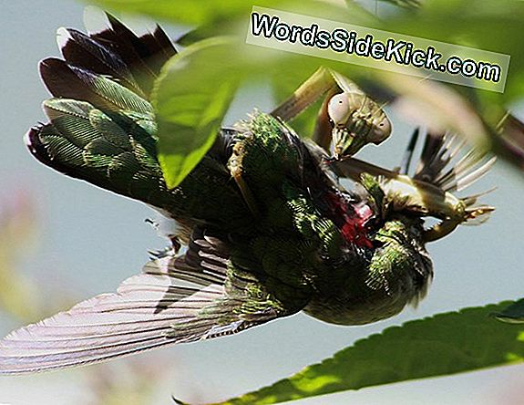 Bug Vs Bird: Praying Mantises Feast On Feathered Prey