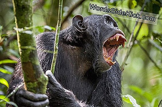 Chimps Kill, Mutilate Og Cannibalize Medlem Af Own Group