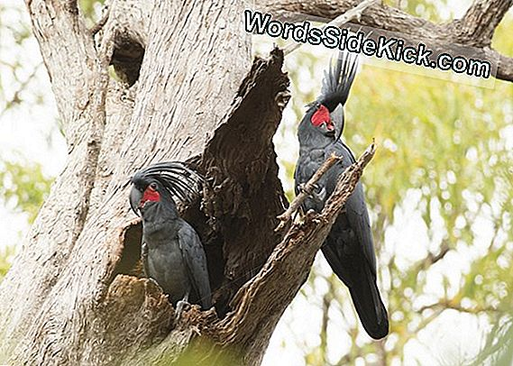 Cockatoos Drop Sick Beats Charm Mates
