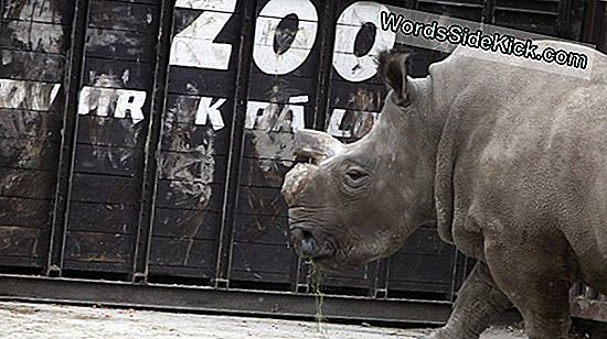 Tjekkiske Zoo Dehorns Rhinos Til Ward Off Poachers