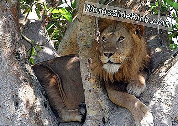 Famed Tree-Climbing Lions Running Low On Prey