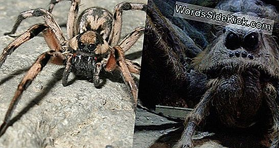 Furry 'Harry Potter' Spider Opdaget I Mountain Burrow