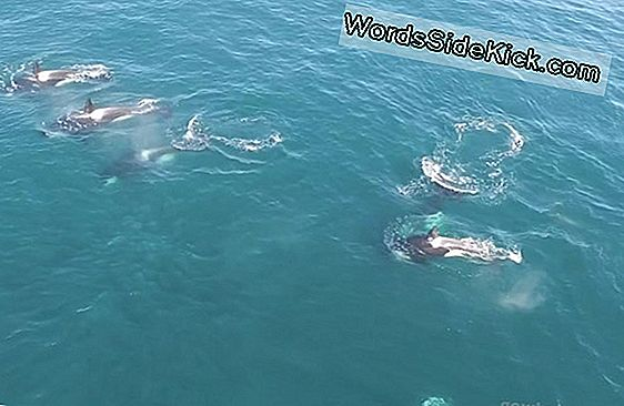 Humpbacks Blokeeri Killer Whale Feeding Frenzy Wild Video