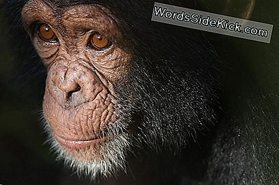Ny Court Hears 'Personhood' Case Voor Caged Chimps