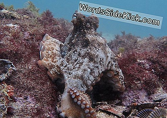 'Octlantis': Bustling Octopus Community Discovered Off Australia