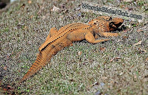 Orange-Hued Alligator Spottet I South Carolina