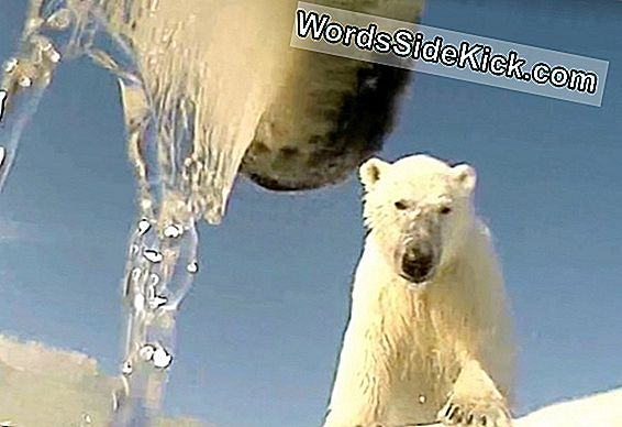 Polar Bear Body Cam Shows Predator'S Pov