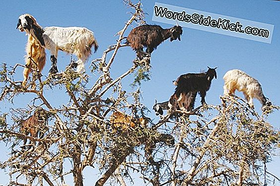Ptooey! Tree-Climbing Goats Sprede Frø Ved Spitting
