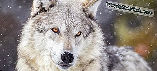 Wolf Fakta: Grey Wolves, Timber Wolves & Red Wolves