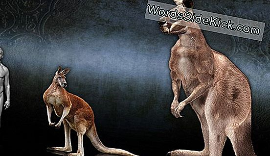 Ancient Kangaroo Tænder Reveal Australiens Tropical Past