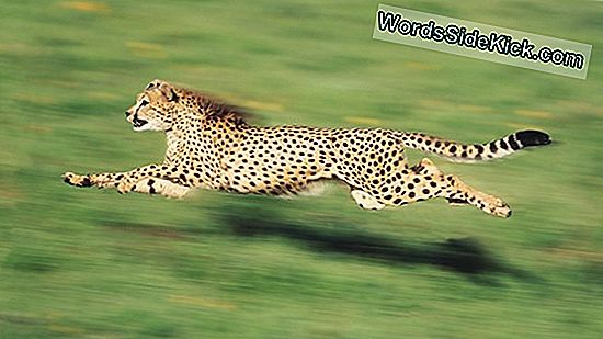 Cheetahs: The Fastest Land Animals