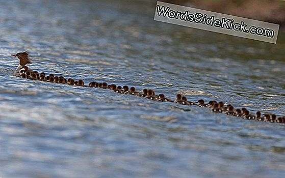 Denne Duck Supermom Leads 76 Ducklings I Amazing, Adorable Photo