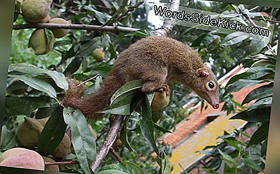 Hot Take: Tree Shrews Lieben Chilischoten