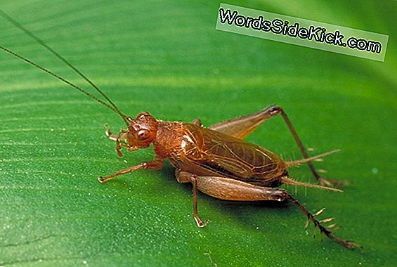 Tree Cricket'S Song Im Einklang Mit Der Temperatur