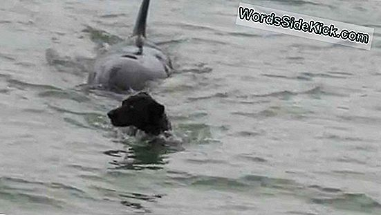 Dog Chases Stick, Orca Chases Dog