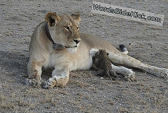 Wild Lioness Nurses Leopardenjunges In