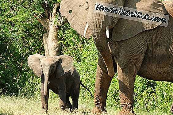 In Elephant Society, Matriarchs Lead (Op-Ed)