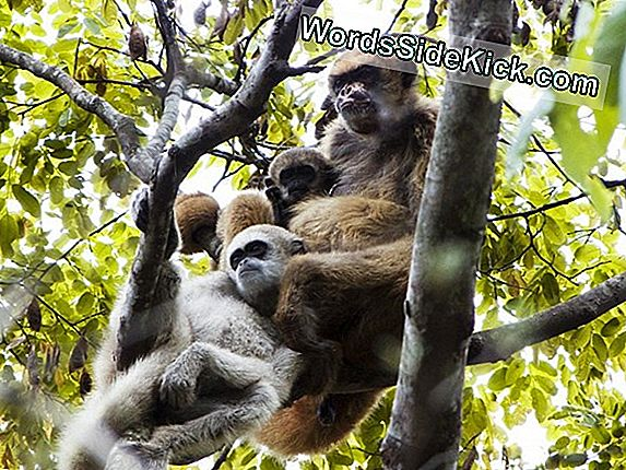 Monkey Moms Help Sons Get Babes