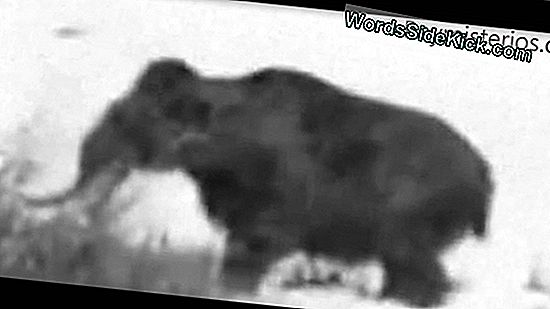 ¿Mamut Lanudo Atrapado En Video?
