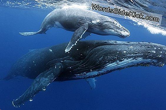 Whale Moms Teach Young, Kuhu Süüa