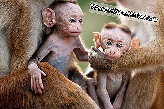 Monkey Moms Act Like Human Moms