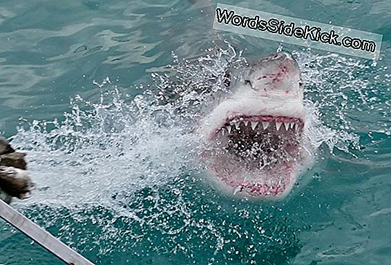 Fotod: Great White Sharks Attack