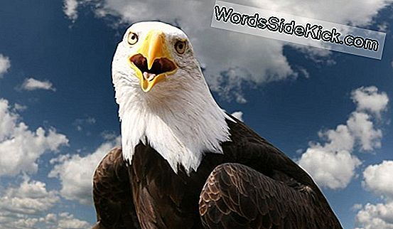 Bald Eagles: Faktid American Mascot