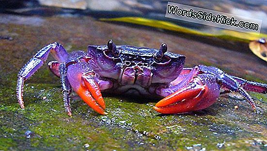 Bright Purple Crab Avastati Filipiinidel