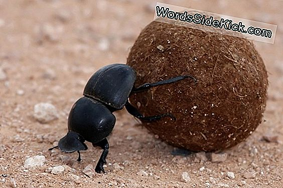 Wauw! Dung Beetles Navigate By The Stars