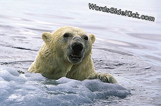 Polar Bears Swim Sajad Miles One Go