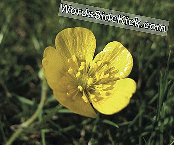 Secret To Buttercups 'Yellow Spotlight Revealed