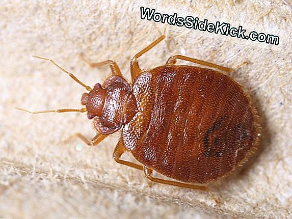 Bed Bugs Weerstaan ​​Pesticiden