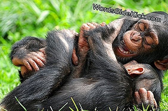 Nainen Chimps Kill Infants