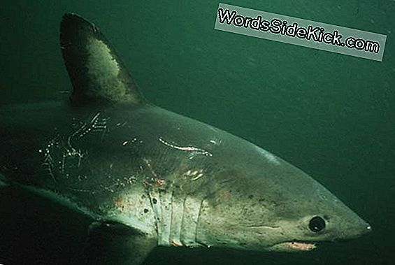 Miten Sharks Survive Frigid Water