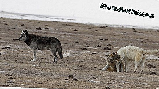 Yellowstone Wolves Hit By Disease