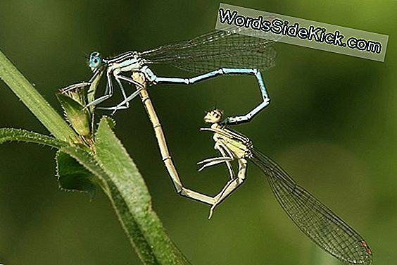 Animal Sex: Kuinka Dragonflies Do It