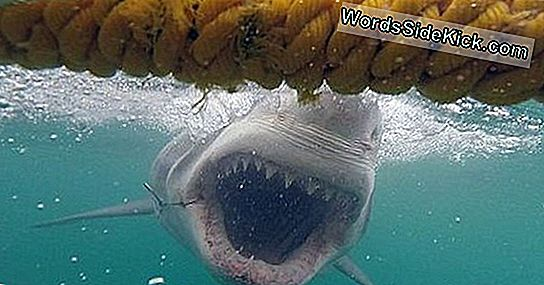 Sukeltajan Scary Great White Shark Encounter Kiinni Videosta