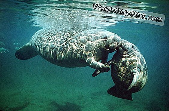 Animal Sex: How Manatees Do It