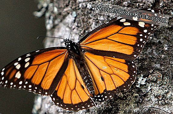 Amazing Monarch Butterfly Migration Rebounding Nyt