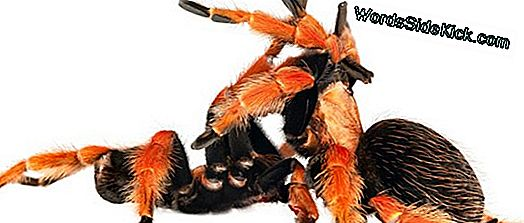 Animal Sex: Kuinka Tarantulas Do It