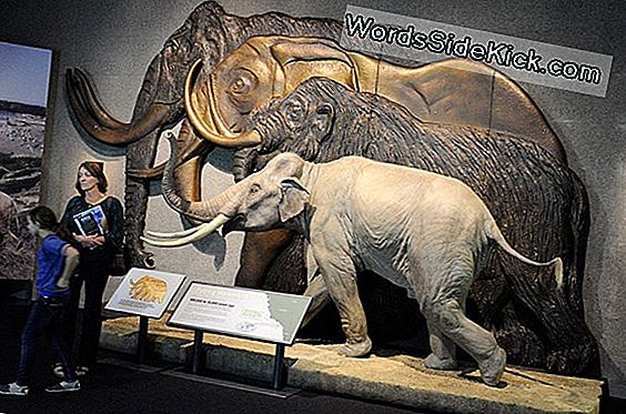 Big Love: Woolly Mammoths, Huge Elephants May Interbred