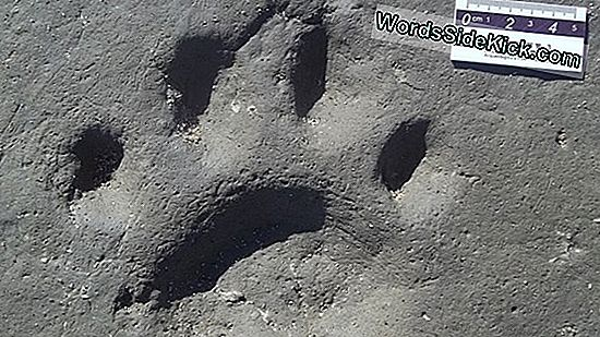 Enorme Trove Of Dinosaur Footprints Ontdekt In Alaska
