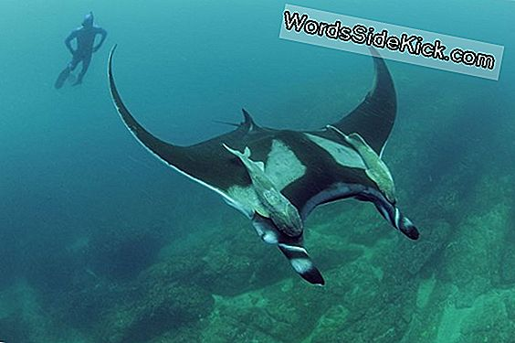 Rays Do Not Stray: Giant Mantas Stick Lähellä Kotia