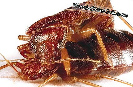 Animal Sex: Miten Bed Bugs Do It